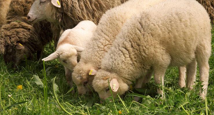 Von Mai bis Juni dreht sich auf dem Hofgut Hopfenburg alles um Schafe.